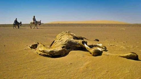 生活在沙漠附近的人说,看到死骆驼不要接近?竟然是这个原因