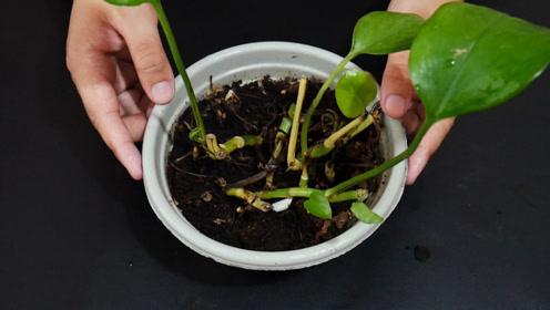 在花盆上套一个塑料袋,解决了养花人的一大烦恼,学到就是赚到