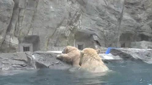 暖心!小北极熊不会游泳吓坏妈妈,一路小跑前来帮助!