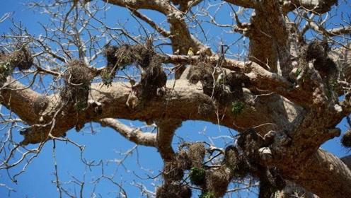 鸟窝都朝上建造,不怕下雨天吗?专家表示:鸟窝有很多隐藏技能!