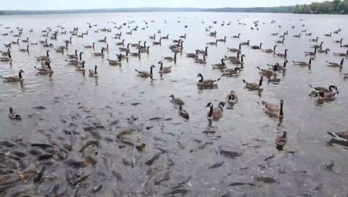 美国小镇鲤鱼泛滥却成奇观,鸭子踩着鱼背走