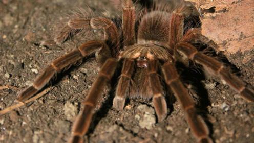 令人害怕的鸟蜘蛛,却是委内瑞拉难得的美食,捕食过程惊险万分
