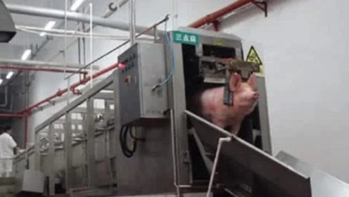 实拍流水线杀猪,猪还没反应过来就完事儿了,没有任何痛苦!