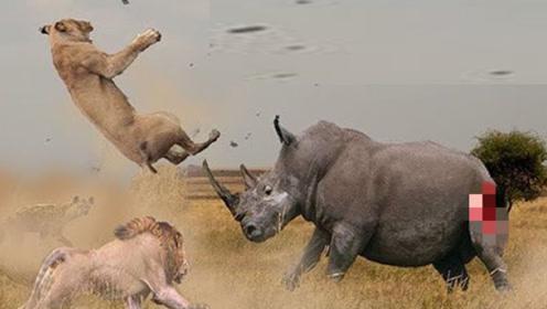 3只狮子围攻一头犀牛,最后犀牛却成了王者,镜头记录全过程