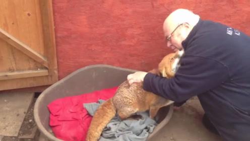 多年后被救小狐狸再见恩人,场面一度失控,感动了无数网友