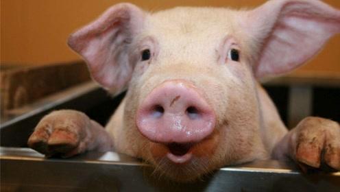 德国人的杀猪秘诀:洗澡后在美梦中死去,丝毫没有痛苦