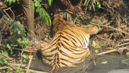 老虎躺在湖边一动不动,老人走近一看,眼泪差点掉下来!