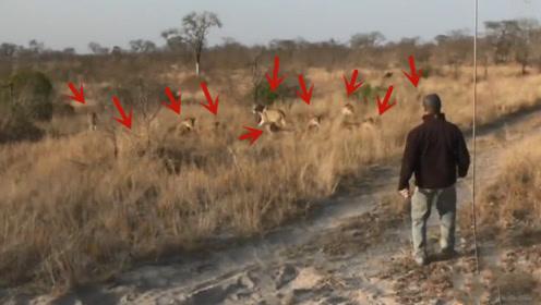 男子野外偶遇十只狮子,接下来他的做法,堪称教科书级别
