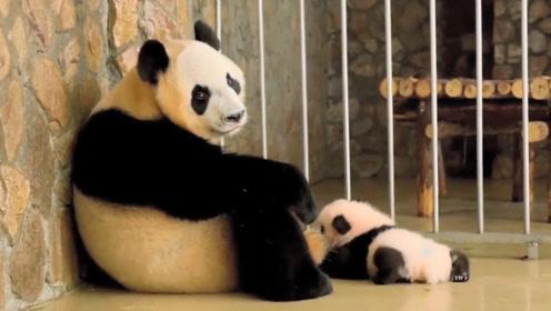 自从生了娃熊猫就生无可恋,模样太搞笑了,网友:这不就是我吗