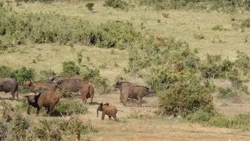 小象错将牛群当象群,小象拼命追赶,野牛却吓得惊慌失措