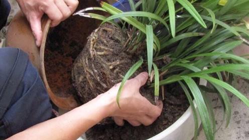 盆栽土壤板结,教你不用换盆、不用铲土,只需倒一碗,松软又肥沃