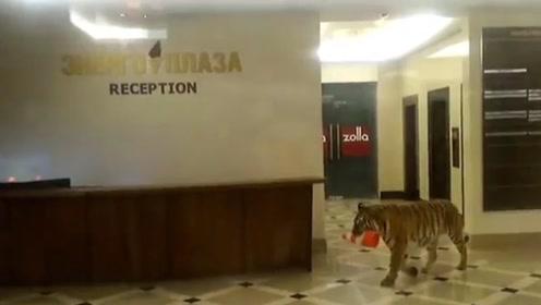 老虎闯入俄罗斯人家中,玩的正嗨时,保安淡定的带着棍子绳子走去
