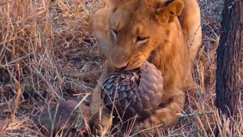狮子抓住一只穿山甲,却无从下口,穿山甲:不吃我走了啊!