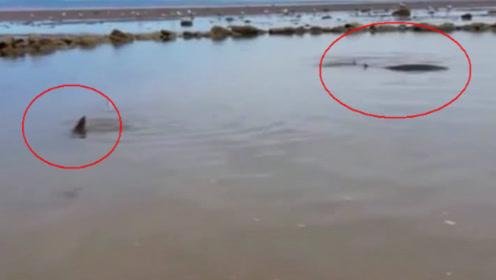 江边浅水坑,男子发现一群一米长的大鱼,网友:中华鲟!