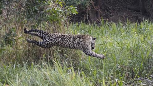美洲豹躲树枝上静候猎物 飞身一跃捕获凯门鳄