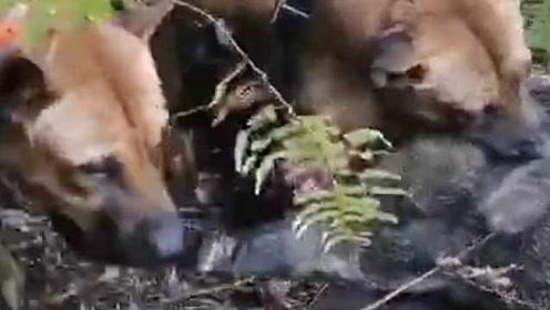 猎犬大战野猪!野猪嚣张进村搞破坏,狩猎队一周猎杀6只野猪