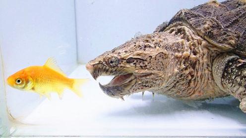 饿了十天的鳄龟有多凶猛?丢一条小鱼进去就知道了