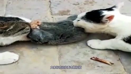 """""""两猫争一鼠""""!鼠:兄弟,要不你们先商量商量,我不要面子呀?"""