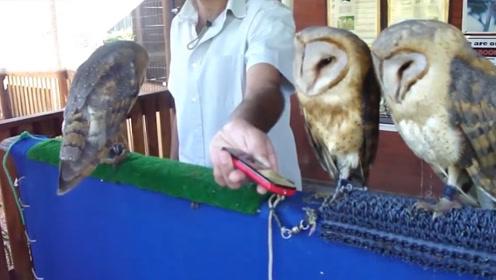 猫头鹰进军宠物界,随着音乐的节奏一起摇摆,能歌善舞!