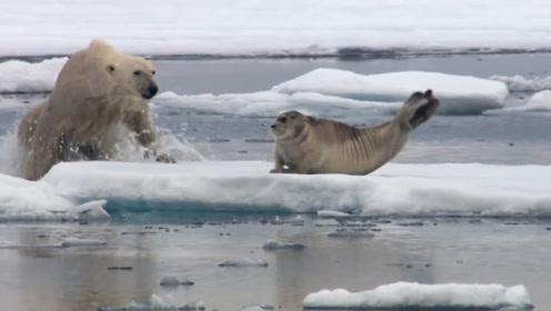 北极熊偷袭海豹,还顺带玩儿套路,海豹:过分了,老哥