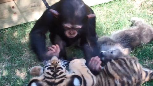 猩猩和小老虎小狼崽黏在一起,简直太有爱了,镜头记录全过程