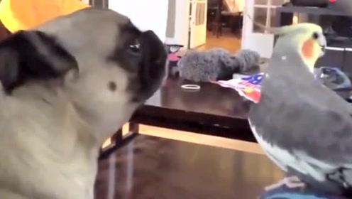 鹦狗大合唱 你的耳朵准备好了吗?忍住别笑