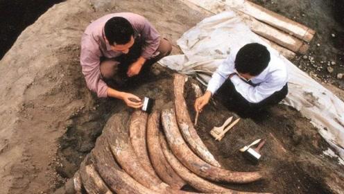 在四川金沙挖到成吨的象牙,挖到一半的时候,专家迅速埋了回去
