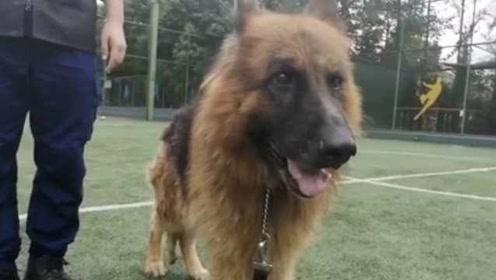 战友情!搜救犬地震中救出2人,退休后整个消防队陪伴养老