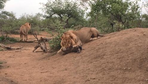 鬣狗欺负狮子,狮子反击直接将鬣狗咬成这样,草原之王没谁了!