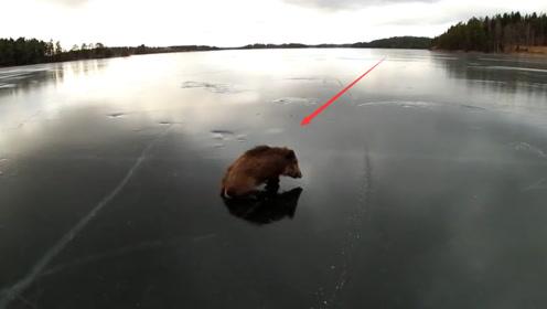 野猪被困在结冰的湖面上,展示出魔鬼般步伐,镜头记录全过程!