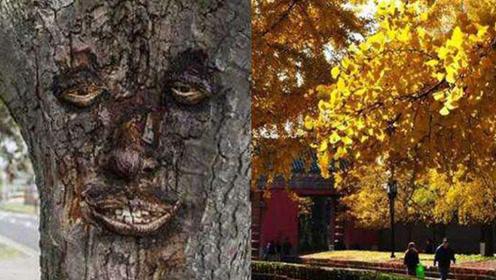 200年银杏树长出人脸来找科学家来解释也无法解释这是为什么?