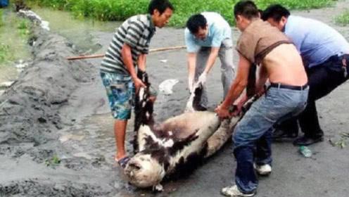 身为国宝的大熊猫,死后会怎样处理?看完让人无法接受