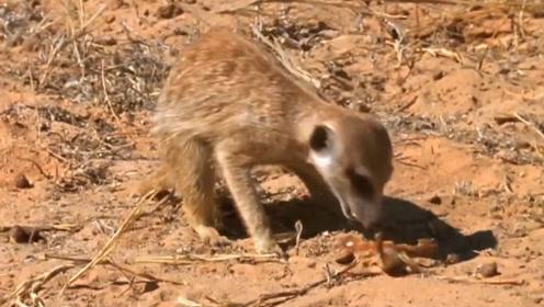 狐獴捕猎松鼠没抓到,改去捉蝎子,下一秒请憋住别笑!