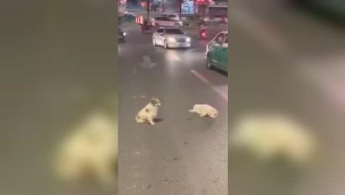 """场面感人!流浪狗见""""伙伴""""遭遇车祸倒路上 守一旁又舔又叫"""