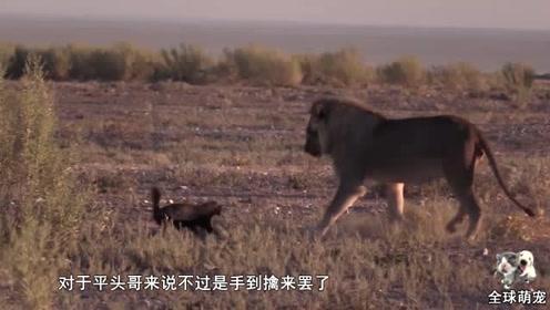 连狮子都惧怕的动物,竟被平头哥捕食了,真是一物克一物