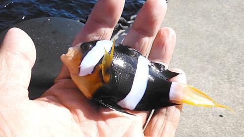 小丑鱼就生长在岸边,钓上来随手丢回去!