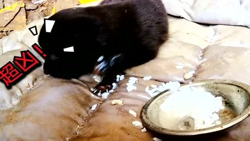 萌宠 小土狗吃播,异常凶猛,嘴搂了吗?