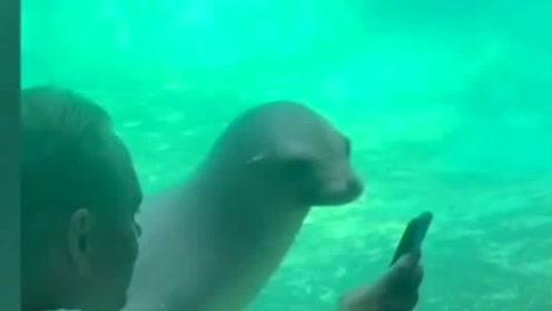 太搞笑!海狮对手机充满好奇 不断向游客示意看搞笑视频