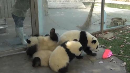 """熊猫""""淘气""""扒开墙缝中的轮胎,下一秒意外发生,镜头记录全过程"""
