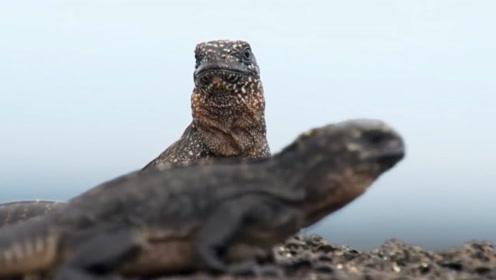 一只蜥蜴被蛇盯上,经过九九八十一难,回到了同伴身边!
