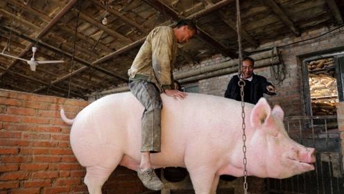 """奇闻!河南一农民养猪,竟把猪养成""""猪精"""",懂人话还会才艺!"""