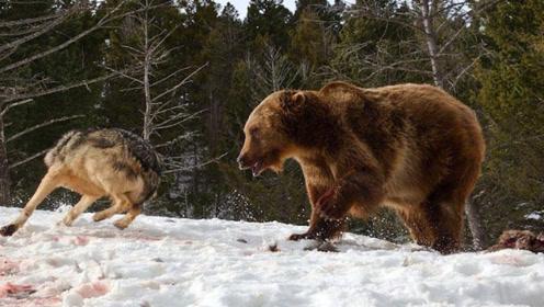 暴怒棕熊大战恐怖狼群,残酷无比的激烈厮杀,只是为了残渣剩羹