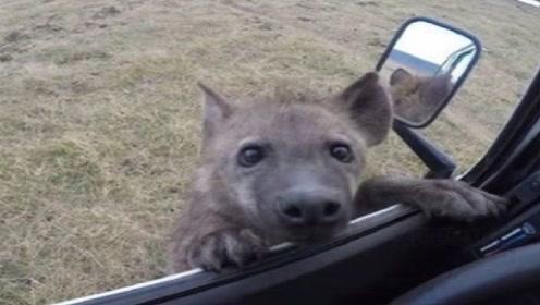 鬣狗落单向人类求助?男子刚准备要救助,吓的一脚油门逃走
