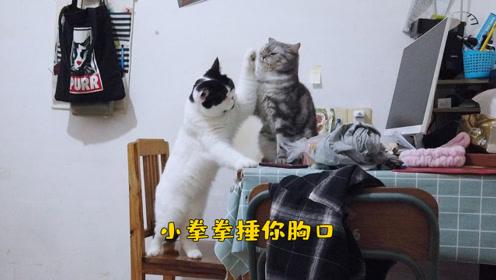 家里两只喵星人又打架啦!看着它俩,我咋看笑了?小拳拳捶你胸口