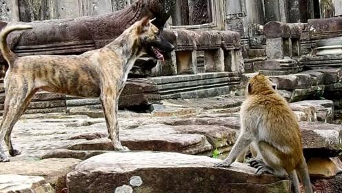 汪星人挑衅猴子,惨遭整个猴群攻击,恨不得多长两条腿