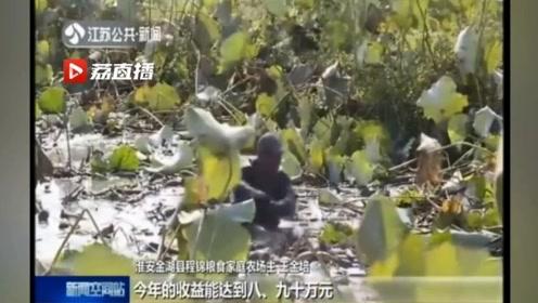 淮安农民种荷藕一年收益九十万!江苏农民快乐庆丰收!