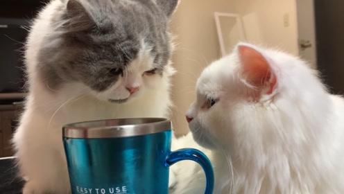 一只与众不同的猫,喜欢用杯子喝水