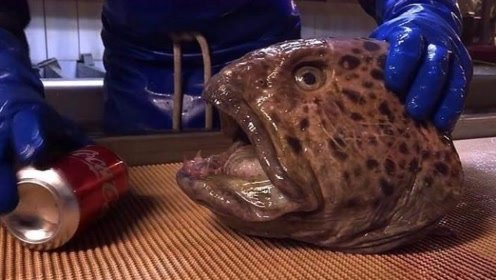 这鱼到底什么来头?只剩下一颗头也能咬碎罐装可乐,一起来见识下