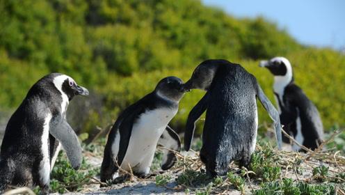 可爱!人工孵化企鹅宝宝将于国庆亮相,孵化期间一天能吃八顿饭