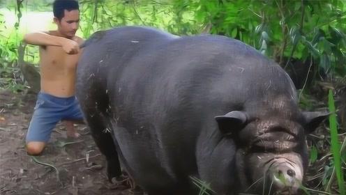 男子家中没有公猪,母猪却意外怀孕,看到生下的猪崽让人懵逼